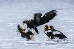 орланы на озере