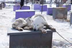 Питомник ездовых собак Снежные псы